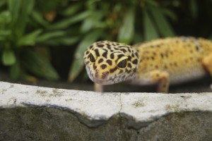 Leopardgecko 2